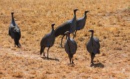 Ptasi Guineafowl w Afryka dzikiej naturze Obraz Stock
