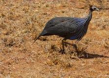Ptasi Guineafowl w Afryka dzikiej naturze Zdjęcia Royalty Free