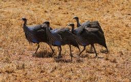 Ptasi Guineafowl w Afryka dzikiej naturze Fotografia Stock