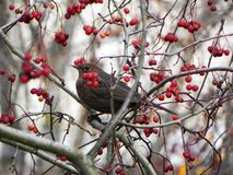 Ptasi gwizd obsiadanie na gałąź Ptak karma na Rowan owoc w jesieni Szczeg??y w g?r? i obraz royalty free