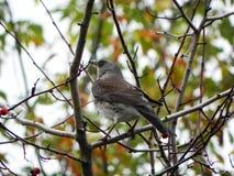 Ptasi gwizd obsiadanie na gałąź Ptak karma na Rowan owoc w jesieni Szczeg??y w g?r? i zdjęcie royalty free