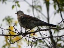 Ptasi gwizd obsiadanie na gałąź Ptak karma na Rowan owoc w jesieni Szczeg??y w g?r? i obraz stock