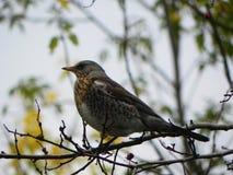 Ptasi gwizd obsiadanie na gałąź Ptak karma na Rowan owoc w jesieni Szczeg??y w g?r? i zdjęcie stock