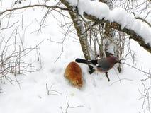Ptasi Jay obsiadanie na gałąź Pi?kny ptak w naturze Szczeg??y w g?r? i fotografia royalty free