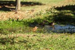Ptasi kąpanie w gospodarstwie rolnym Obraz Royalty Free