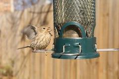 Ptasi karmienie przy podwórka dozownikiem fotografia royalty free