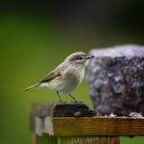 ptasi karmienie sia słonecznika Obrazy Stock