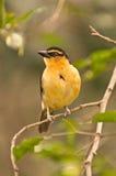 ptasi kolor żółty Zdjęcia Royalty Free