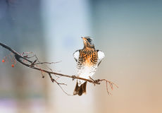 Ptasi kos siedzi dumnie w parku Fotografia Royalty Free