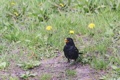 Ptasi kos z kolorów żółtych oczami i żółtym belfrem pozuje na zieleni Zdjęcia Stock