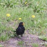 Ptasi kos z kolorów żółtych oczami i żółtym belfrem pozuje na zieleni Zdjęcie Stock