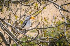 Ptasi latający banan Kruger park narodowy, Południowa Afryka Obraz Royalty Free