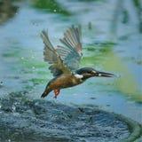 Ptasi Latający Snapshotsï ¼ ŒBirds polowanie zdjęcia stock