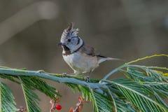 Ptasi Lophophanes cristatus w przyrodzie Zdjęcia Stock