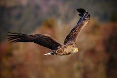 Ptasi lot Ogoniasty Eagle, Haliaeetus albicilla, ptaki zdobycz z lasem w tle Obrazy Stock