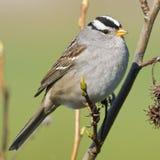 ptasi mały wróbel fotografia royalty free
