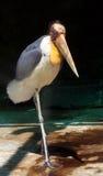 Ptasi marabut Zdjęcie Royalty Free