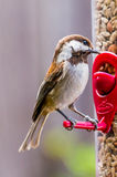 Ptasi Nieletni Chickadee Obrazy Stock