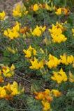 Ptasi nożny koniczyny Lotus lancerottensis zdjęcie royalty free