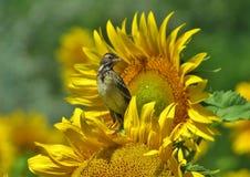 Ptasi obsiadanie na kwiacie Zdjęcia Royalty Free