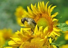 Ptasi obsiadanie na kwiacie Obrazy Royalty Free
