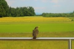 Ptasi obsiadanie na ogrodzeniu obrazy royalty free