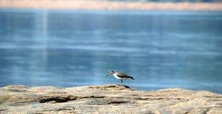 Ptasi obsiadanie na s kędziorku i patrzeć dla jedzenia Fotografia Royalty Free