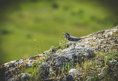 Ptasi obsiadanie na skałach Obraz Royalty Free