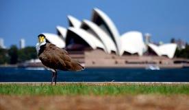 Ptasi odprowadzenie na trawie Zdjęcia Royalty Free