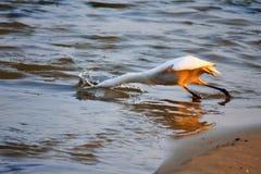 Ptasi pikowanie dla ryba na seashore Obrazy Stock