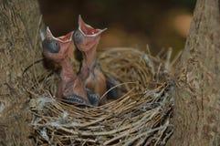 Ptasi początki Fotografia Stock