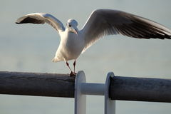 Ptasi podesłań skrzydła Zdjęcie Royalty Free