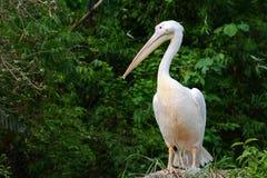 Ptasi portret Wielki biały pelikan, naukowy imię Pelecanus onocrotalus Zdjęcia Royalty Free