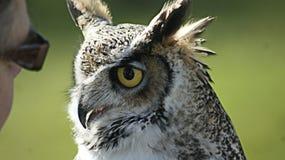 Ptasi przedstawienie w Norfolk pięknej sowie Obrazy Stock