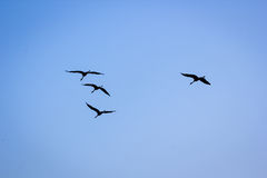 ptasi ptaków lota sylwetki niebo Obrazy Stock