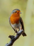 ptasi rudzik obrazy stock