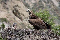 Ptasi sęp z kurczątkiem zdjęcia stock