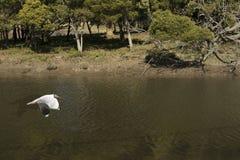 Ptasi Seagull latanie Zdjęcia Stock