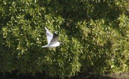 Ptasi Seagull latanie Obrazy Royalty Free