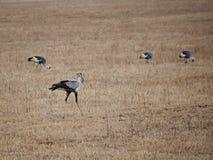 Ptasi sekretarki zakończenie, ptasi sekretarka safari Ngorongoro safari - Tarangiri w Afryka Obrazy Stock