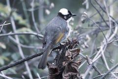 Ptasi sinensis Odpowietrzający Pycnonotus Chiński bulbul zdjęcia stock