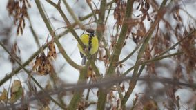 Ptasi tit w zimie w krzakach zbiory