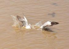 Ptasi uderzenie Phu Zdjęcia Stock