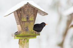 Ptasi żywieniowy dowcip kos Zdjęcia Royalty Free