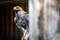 Ptasi Złoty Eagle Zdjęcie Stock
