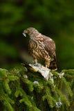 Ptasi zachowanie Ptak zdobycza jastrzębia zwłoki zielony dzięcioł na zielonym świerkowym drzewie Żywieniowa scena z ptakiem i chw Zdjęcia Royalty Free
