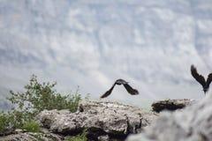 Ptasi Zaczynać Latać w dolinie «Kola De Caballo «, Aragon, Hiszpania obrazy stock