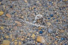 Ptasia czaszka kłaść w brudzie Obrazy Stock