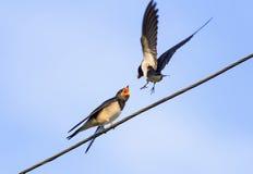 Ptasia dymówka karmi swój kurczątka na drutach na niebieskiego nieba tle Obraz Royalty Free