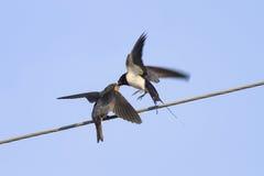 Ptasia dymówka karmi swój kurczątka na drutach na niebieskiego nieba tle Obrazy Royalty Free